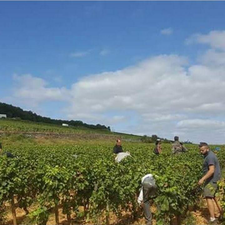 Corton-Renardes at harvest